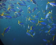 Blue and gold fusilier swimming and schooling in bluewater, Caesio teres, UP7154 Stock Footage