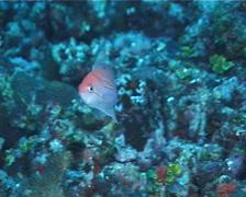 Luzon anthias swimming, Pseudanthias luzonensis, UP7163 Stock Footage