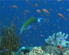 Moon wrasse swimming, Thalassoma lunare, UP7197 Stock Footage