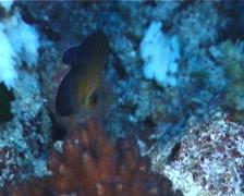 Juvenile Brushtail tang swimming, Zebrasoma scopas, UP7232 Stock Footage
