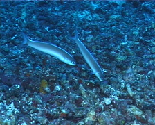 Dusky tilefish darting, Hoplolatilus cuniculus, UP7235 - stock footage