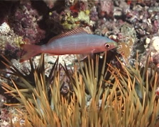 Crown of thorns starfish on rubble at night, Acanthaster planci, UP7255 Stock Footage