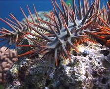 Crown of thorns starfish walking, Acanthaster planci, UP7257 Stock Footage