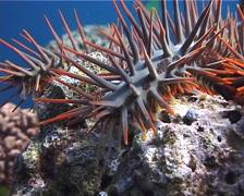 Crown of thorns starfish walking, Acanthaster planci, UP7257 - stock footage