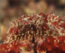 Red rubble boxcrab blinking at night, Calappa sp. Video 7261. Stock Footage