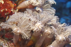 Coral closing, Unidentified species, UP7333 Stock Footage