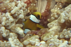 Orangefin anemonefish swimming, Amphiprion chrysopterus, UP7390 Stock Footage