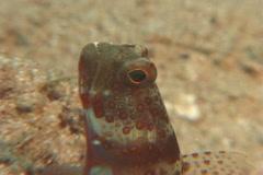 Broad-banded shrimpgoby, Amblyeleotris periophthalma, UP7480 Stock Footage