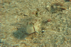 Twinspot goby feeding, Signigobius biocellatus, UP7486 Stock Footage