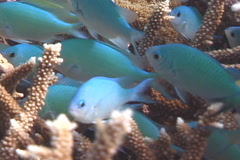 Blue green chromis hovering and schooling, Chromis viridis, UP7496 Stock Footage