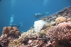 Broadclub cuttlefish swimming on coral reef, Sepia latimanus, UP7618 Stock Footage