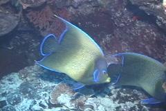 Semicircle angelfish swimming, Pomacanthus semicirculatus, UP7651 Stock Footage