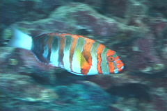 Harlequin tuskfish swimming, Choerodon fasciatus, UP7841 Stock Footage