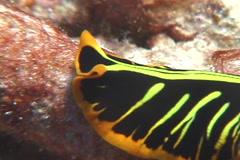 Yellow orange black flatworm walking, Pseudoceros dimidiatus, UP7913 - stock footage