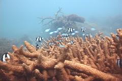 Humbug swimming and schooling, Dascyllus aruanus, UP7932 Stock Footage
