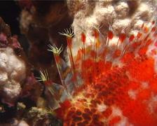 Dwarf hawkfish sleeping at night, Cirrhitichthys falco, UP7950 Stock Footage
