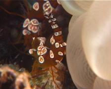 Thor shrimp, Thor amboinensis, UP7964 Stock Footage