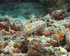 Redspotted sandperch swimming, Parapercis schauinslandii, UP7980 Stock Footage