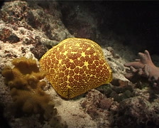 Pin-cushion starfish, Culcita novaeguineae, UP8049 Stock Footage
