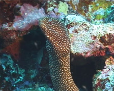 White-mouth moray gaping, Gymnothorax meleagris, UP8075 Stock Footage