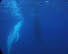 Humpback whale, Megaptera novaeangliae, UP8153 Stock Footage