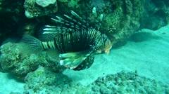 Frillfin turkeyfish(Pterois mombasae) Stock Footage