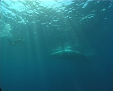 Humpback whale, Megaptera novaeangliae, UP8163 Stock Footage