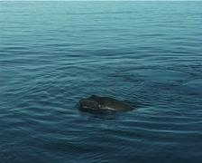 Humpback whale, Megaptera novaeangliae, UP8175 Stock Footage
