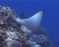 Spotted eagle ray swimming, Aetobatus ocellatus, UP8201 Stock Footage