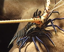 Juvenile Painted spiny lobster at night, Panulirus versicolor, UP8235 Stock Footage
