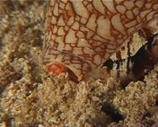 Killer textile cone snail walking at night, Conus textile, UP8272 Stock Footage
