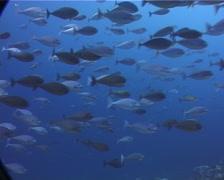 Sleek unicornfish swimming and schooling, Naso hexacanthus, UP8296 Stock Footage