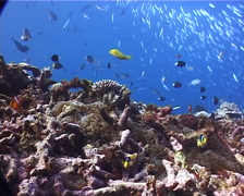 Ocean scenery anemonefish and other damsels, on shallow coral reef, UP8379 Stock Footage