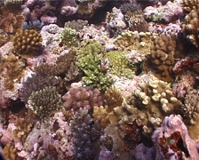 Ocean scenery many new coral recruits, recovery, on shallow coral reef, UP8387 Stock Footage