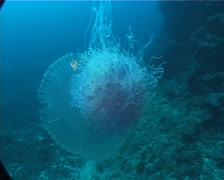 Crown sea jelly swimming on deep coral reef, Netrostoma setouchina, UP8366 - stock footage
