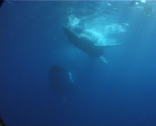 Humpback whale, Megaptera novaeangliae, UP8390 Stock Footage