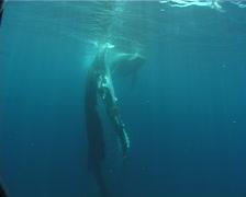 Humpback whale, Megaptera novaeangliae, UP8404 Stock Footage