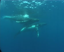 Humpback whale, Megaptera novaeangliae, UP8403 Stock Footage