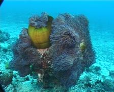 Magnificent sea anemone, Heteractis magnifica, UP8445 Stock Footage