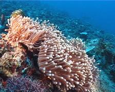 Magnificent sea anemone, Heteractis magnifica, UP8448 Stock Footage