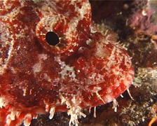 Poss's scorpionfish at night, Scorpaenopsis possi, UP8561 Stock Footage