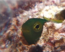Tonga fangblenny, Meiacanthus tongaensis, UP8836 Stock Footage