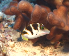 Pacific crown toby hovering, Canthigaster axiologus, UP8844 - stock footage