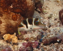 Pacific crown toby hovering, Canthigaster axiologus, UP8846 Stock Footage