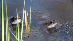 Two European common frogs floating among frogspawn in pond Stock Footage
