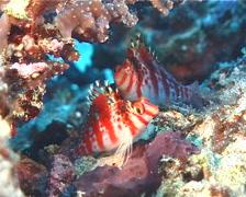 Dwarf hawkfish, Cirrhitichthys falco, UP8896 Stock Footage