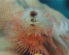 Christmas tree worms feeding, Spirobranchus giganteus, UP8901 Stock Footage