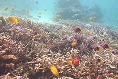 Red-and-Black anemonefish swimming on shallow coral reef, Amphiprion melanopus, Stock Footage