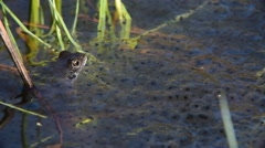 European common frog popping up from under frogspawn in pond Stock Footage