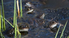 European common frogs (Rana temporaria) floating among frogspawn in pond Stock Footage